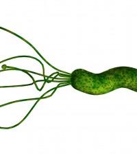 Impulsado por sus flagelos, a la izquierda de la imagen, Helicobacter Pylori se traslada con un movimiento giratorio describiendo una hélice. Así consigue penetrar en la mucosa gástrica como si fuese un sacacorchos.