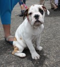 3ª versión del 'Festival Canino Multiraza Comfacauca 2014'