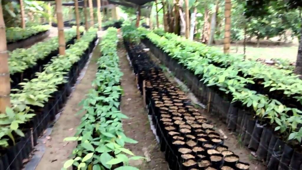 Foto 2 Plántulas cacao