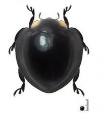 Mariquita nueva especie